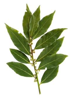 bay-laurel-leaf.jpg